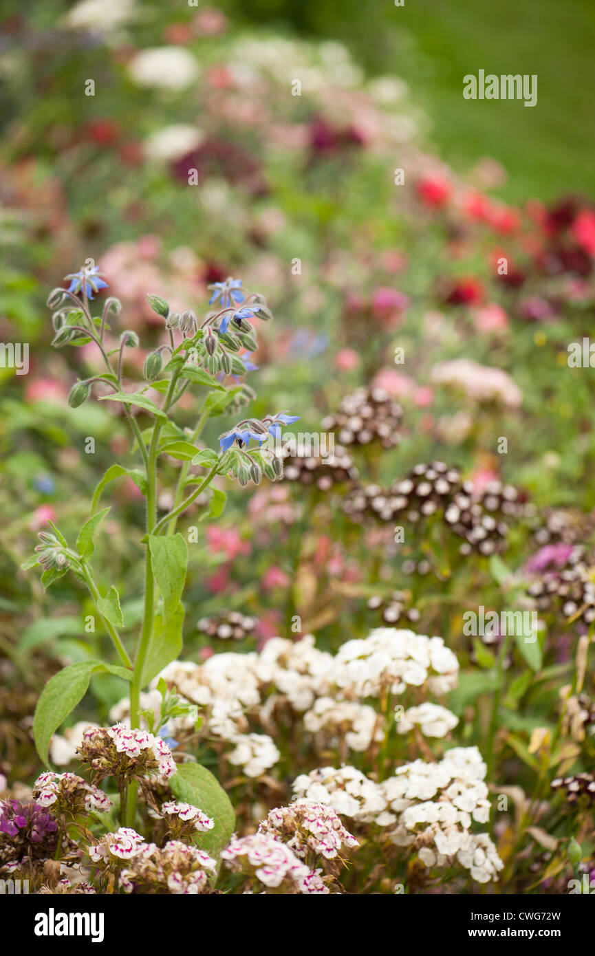 Borage, Borago officinalis and Sweet Williams, Dianthus Barbatus, in a mixed border in summer - Stock Image