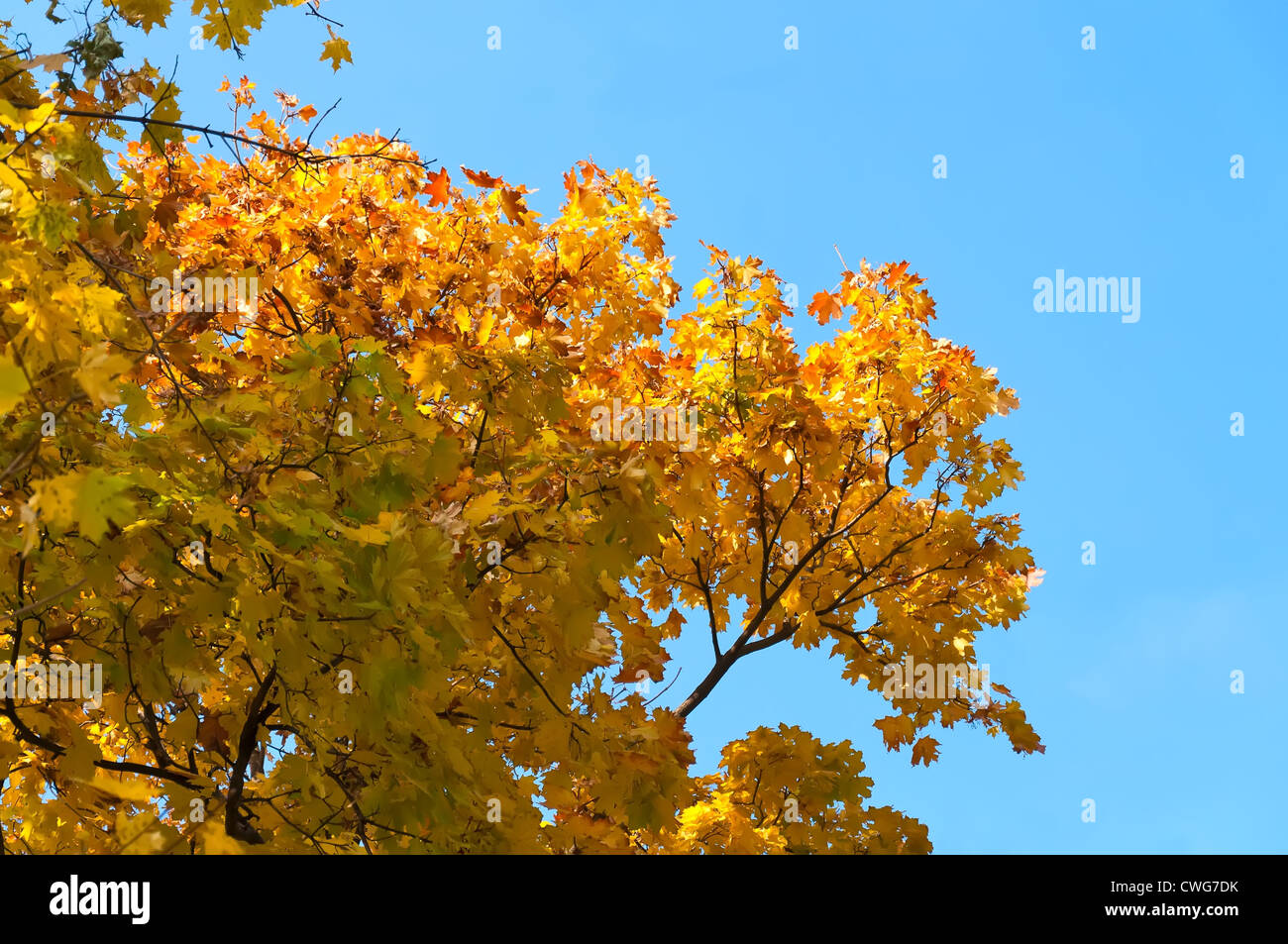 Yellow autumn Maple leaves against the blue sky. - Stock Image