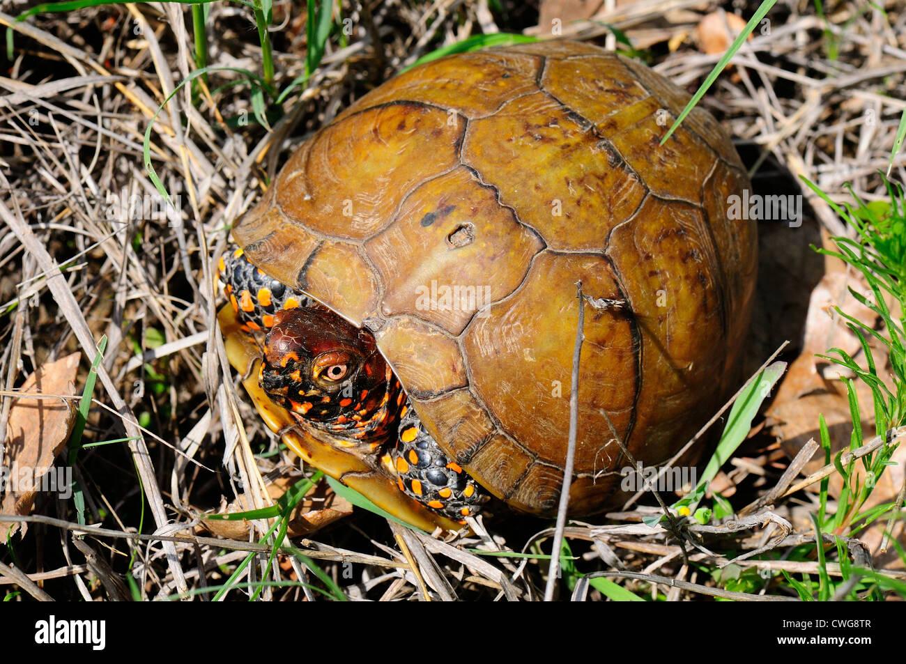 Three-toed box turtle - Stock Image
