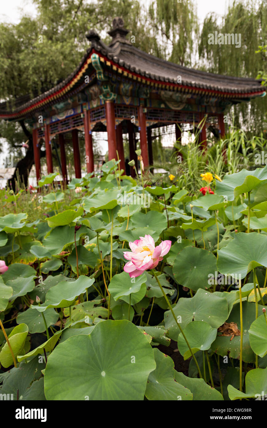 Chinese style lotus stock photos chinese style lotus stock images lotus flowers in front of a chinese style pavilion at beihai park in beijing china izmirmasajfo