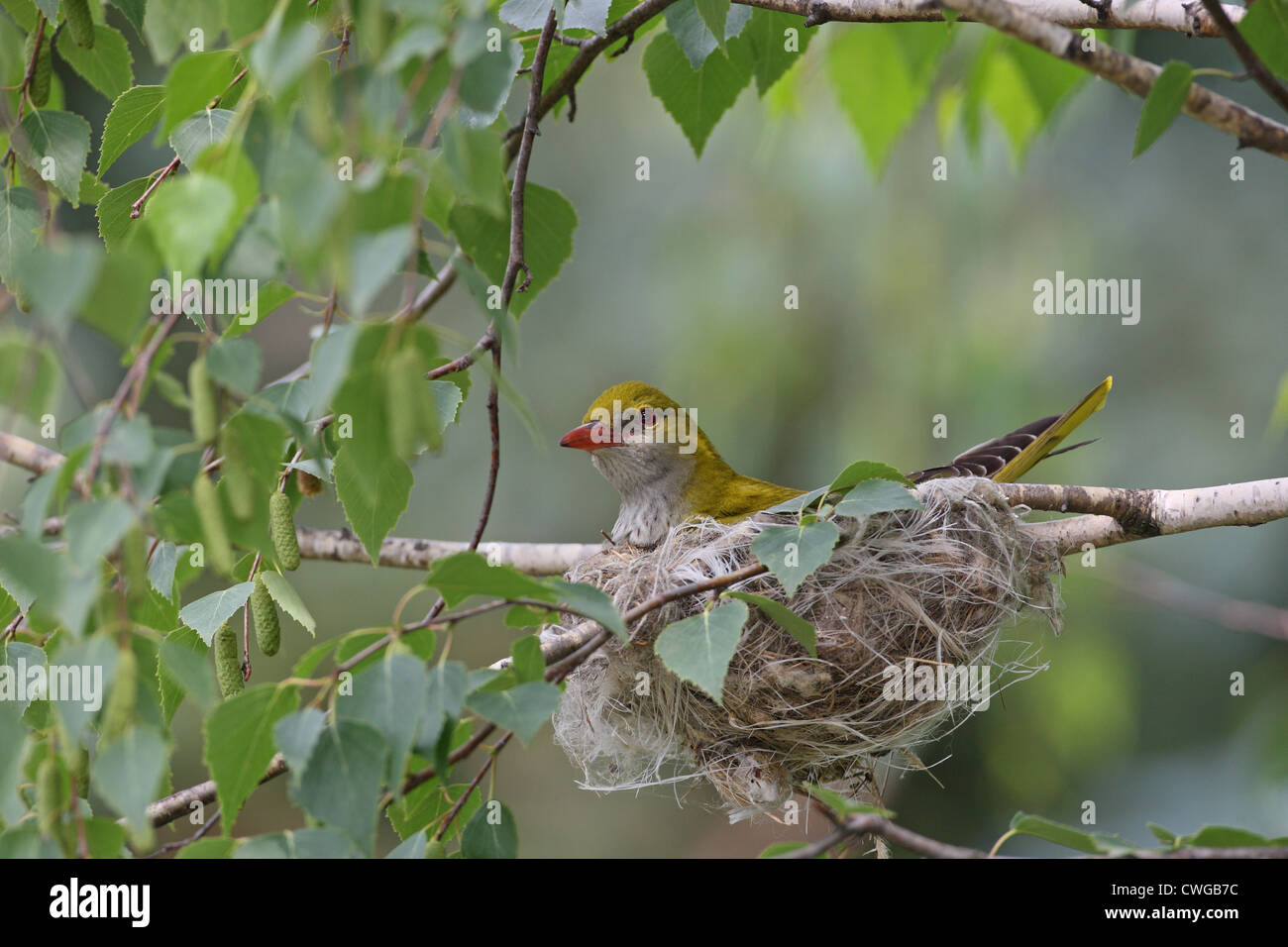 Golden Oriole (Oriolus oriolus), female at the nest on a birch branch, Bulgaria - Stock Image