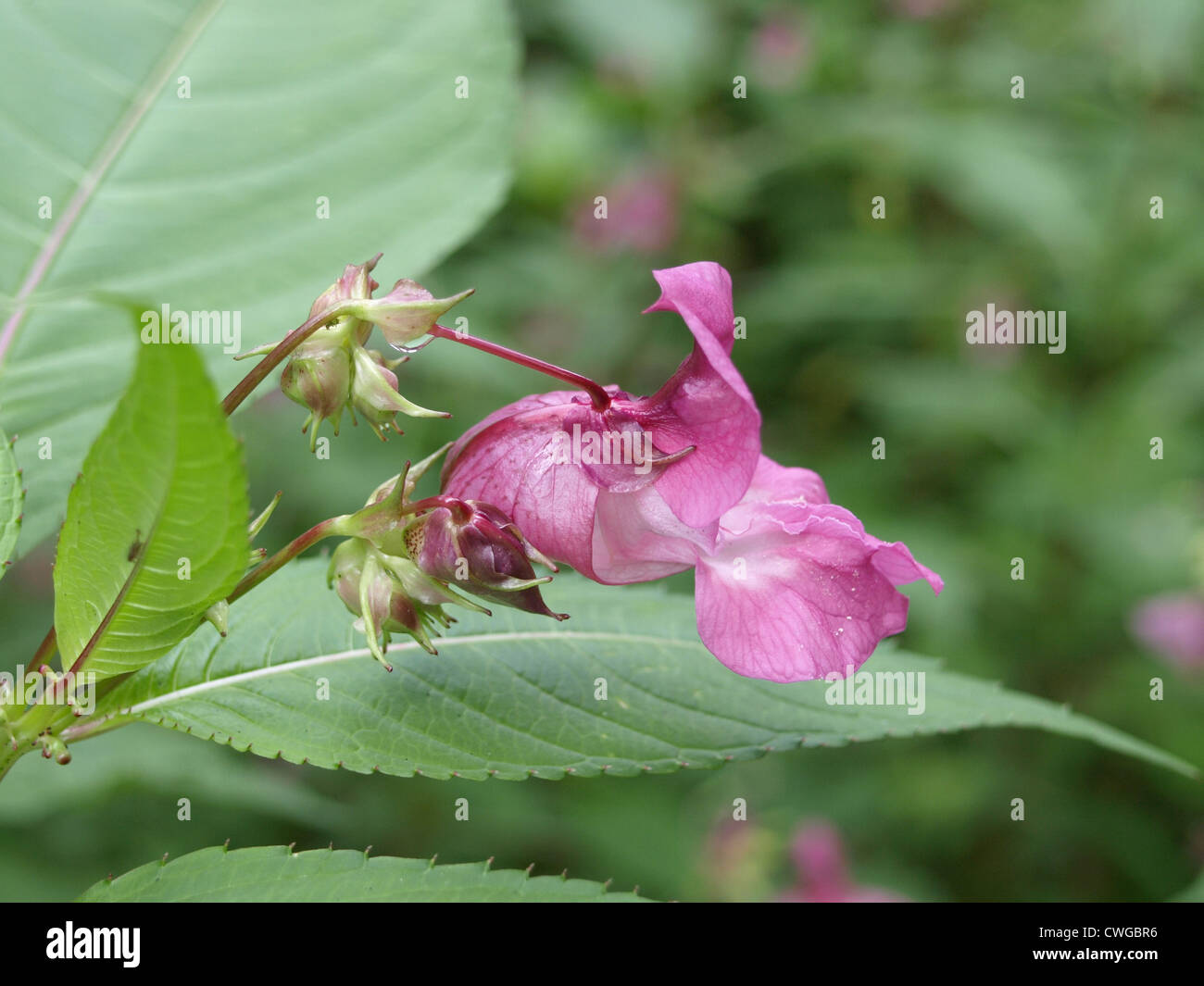 Himalayan Balsam / Policeman´s helmet / Impatiens glandulifera / Drüsiges Springkraut Stock Photo
