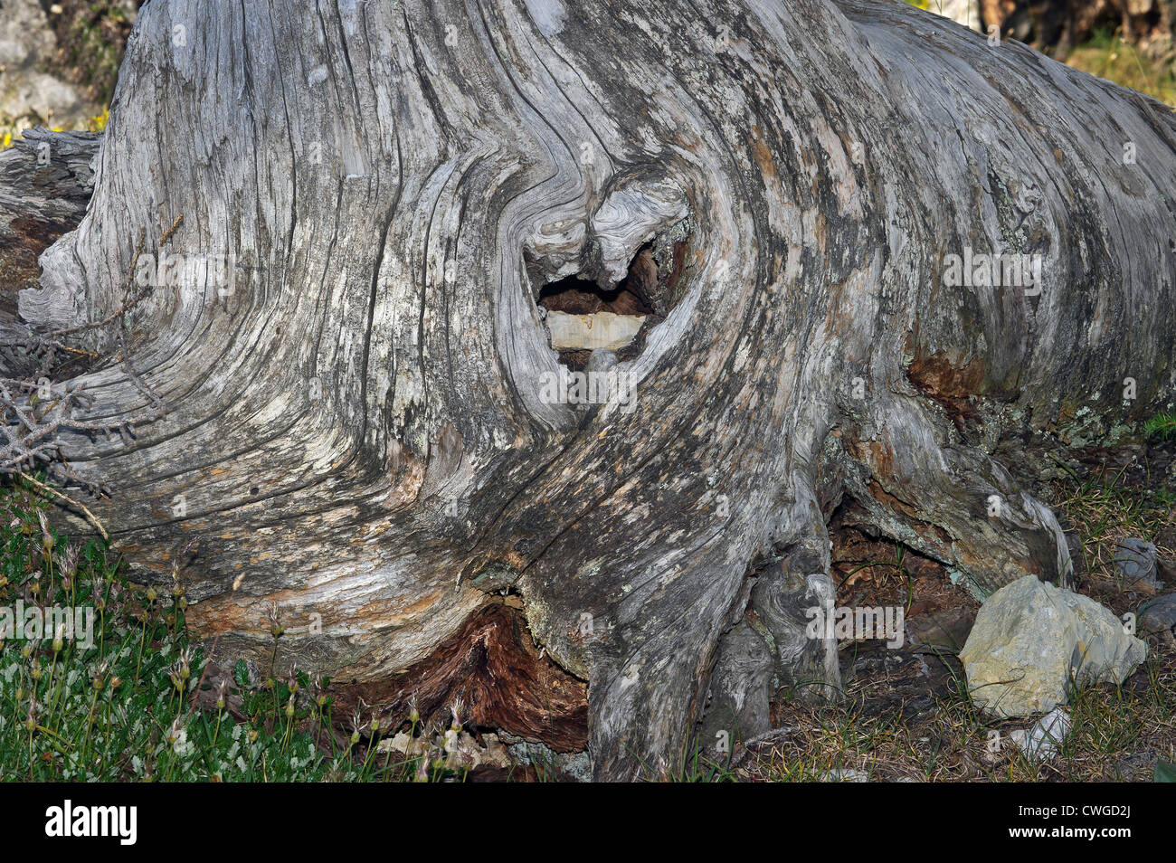 a conifer's stump, Susa valley, Piedmont, Italy - Stock Image