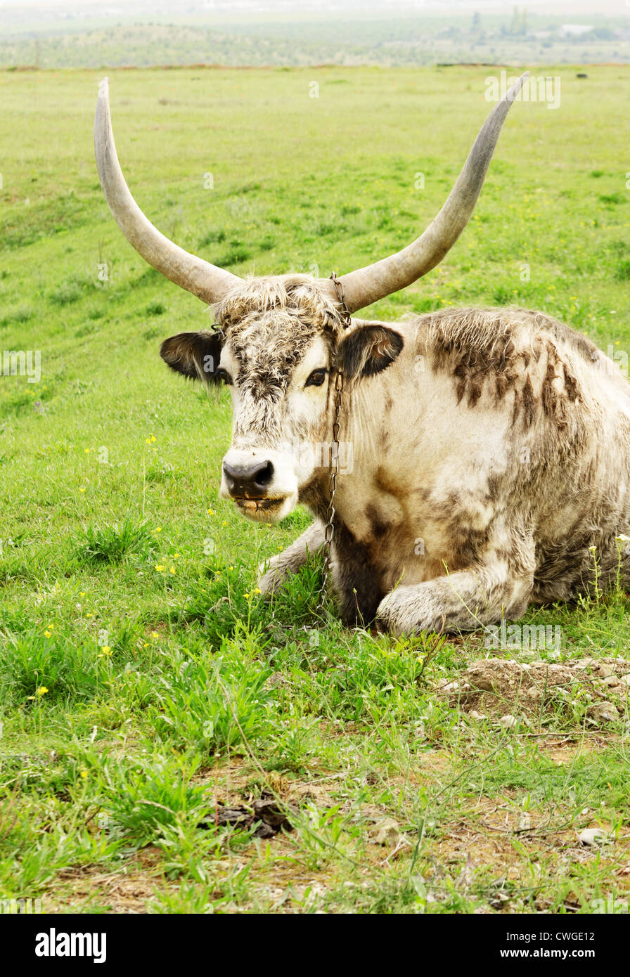 Long horned hungarian cow grazing at pasture - Stock Image