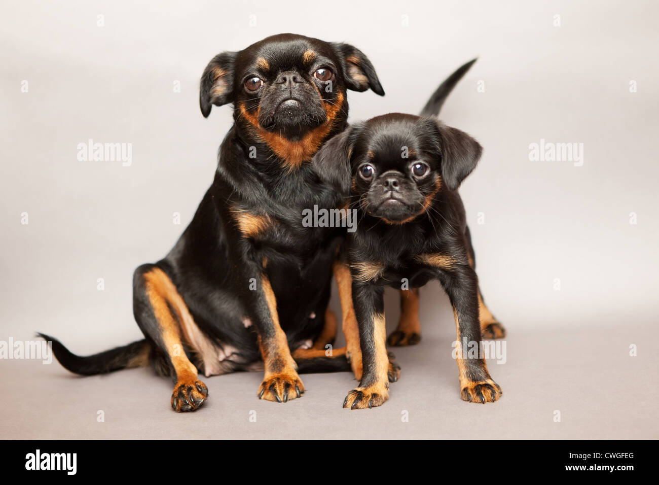 Puppy and mother of breed Griffon Brabanson - Stock Image