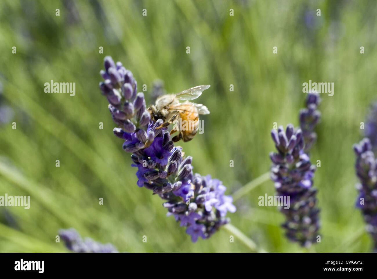Bee Feeding on a Lavender Bloom Stock Photo