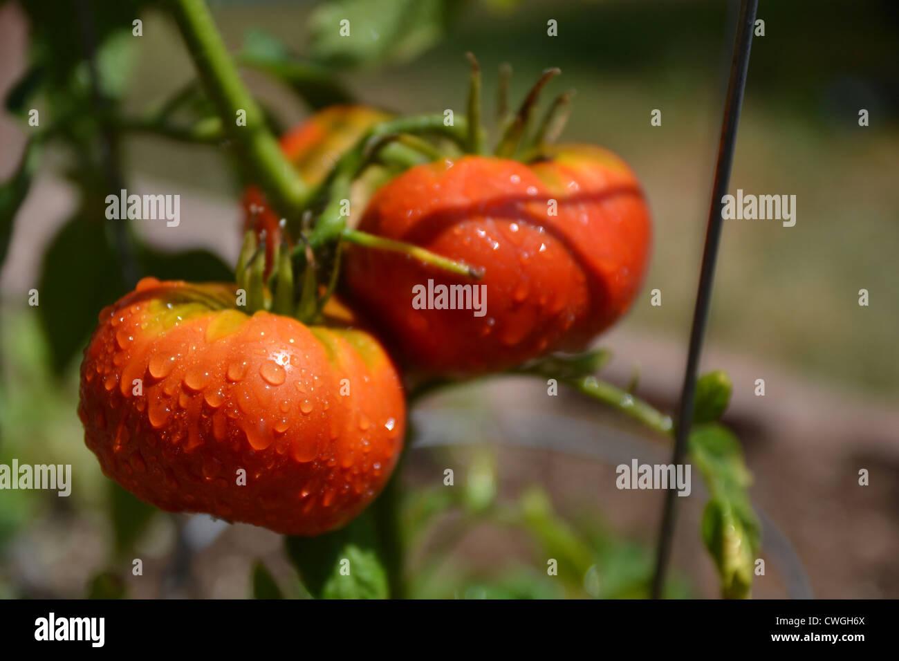 Organic Summer Tomatoes on the VineStock Photo