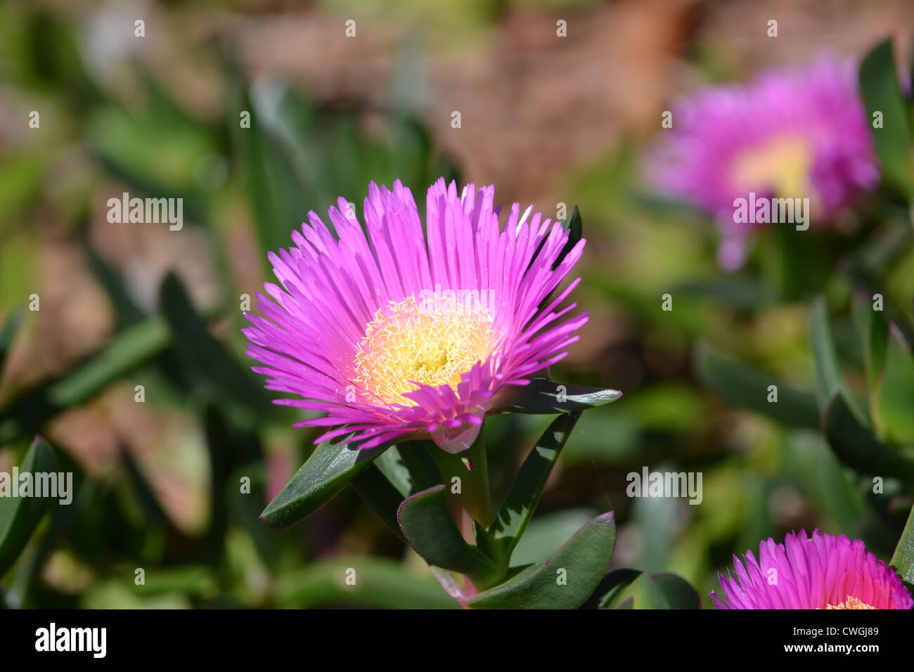 Pink Flower With Yellow Center Stock Photo 50152713 Alamy