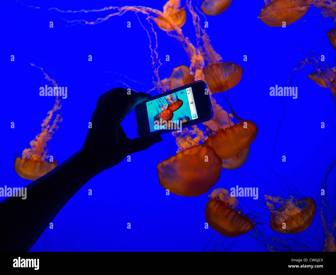 Hand holding Apple iPhone 4s recording low light image of JellyFish floating in Monterey Bay Aquarium California - Stock Image