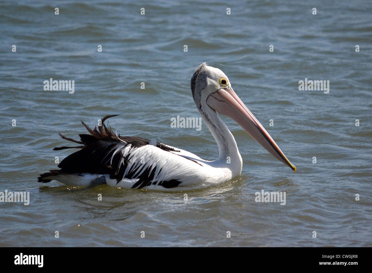 Pelican cruising along the shoreline - Stock Image