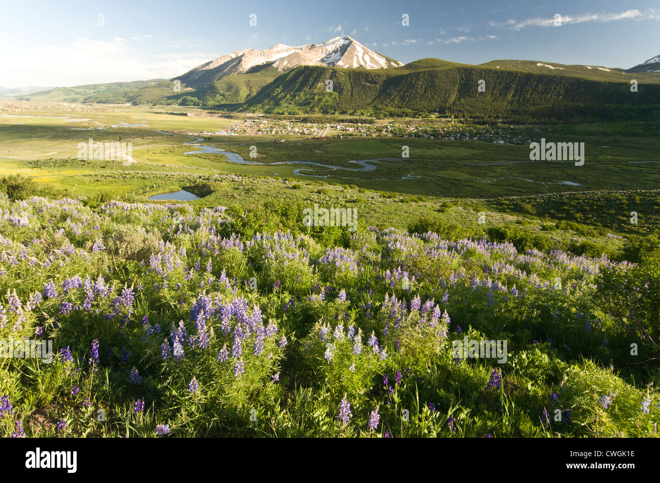 Lupine flowers and the town of Crested Butte, Colorado. - Stock Image