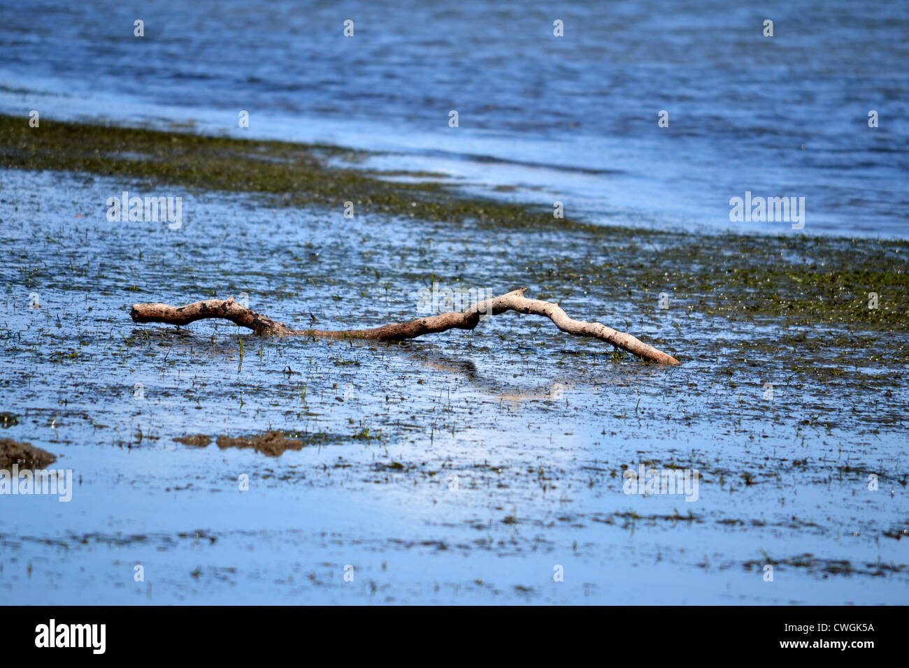 Big tree branch washed up onto weed bank at low tide - Stock Image