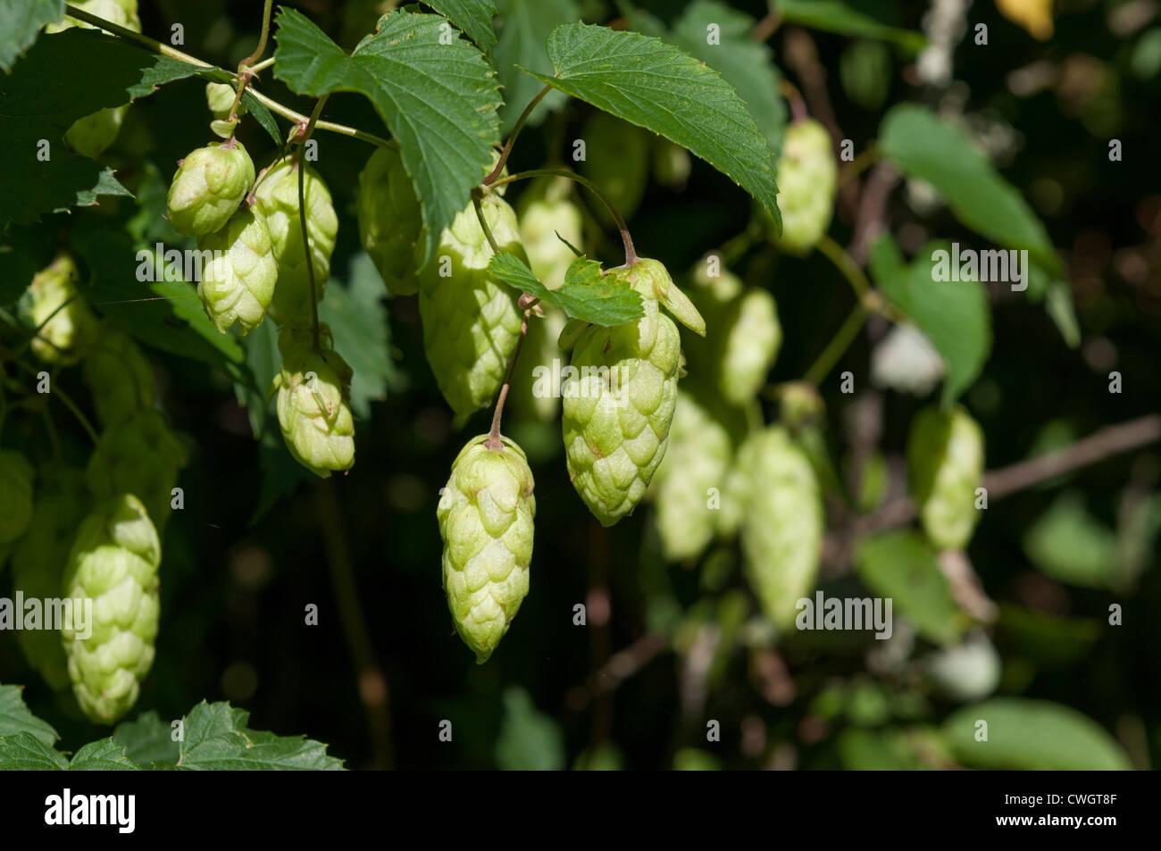 Green plant hops - Stock Image