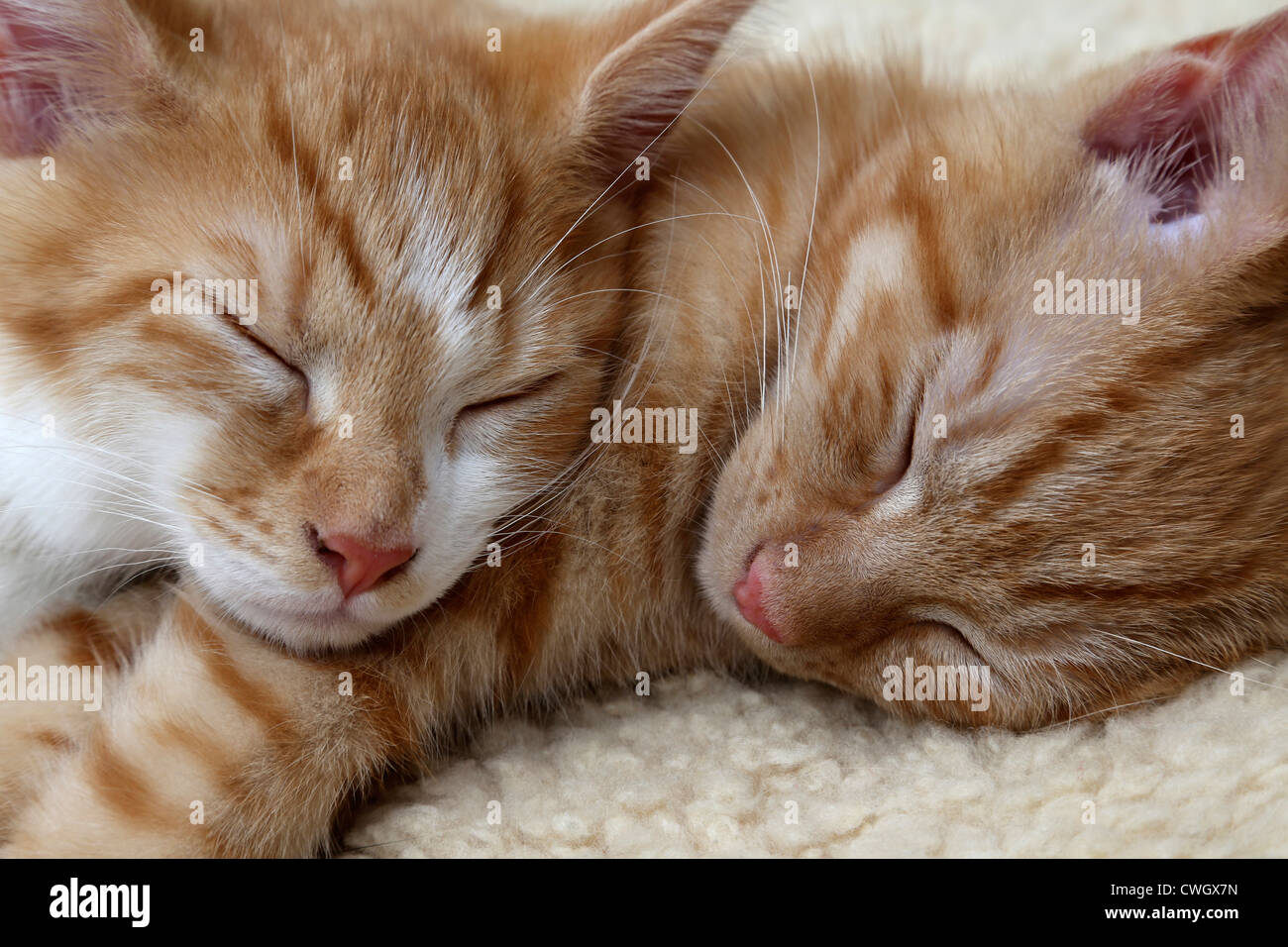 Two Ginger Kittens Sleeping Together - Stock Image