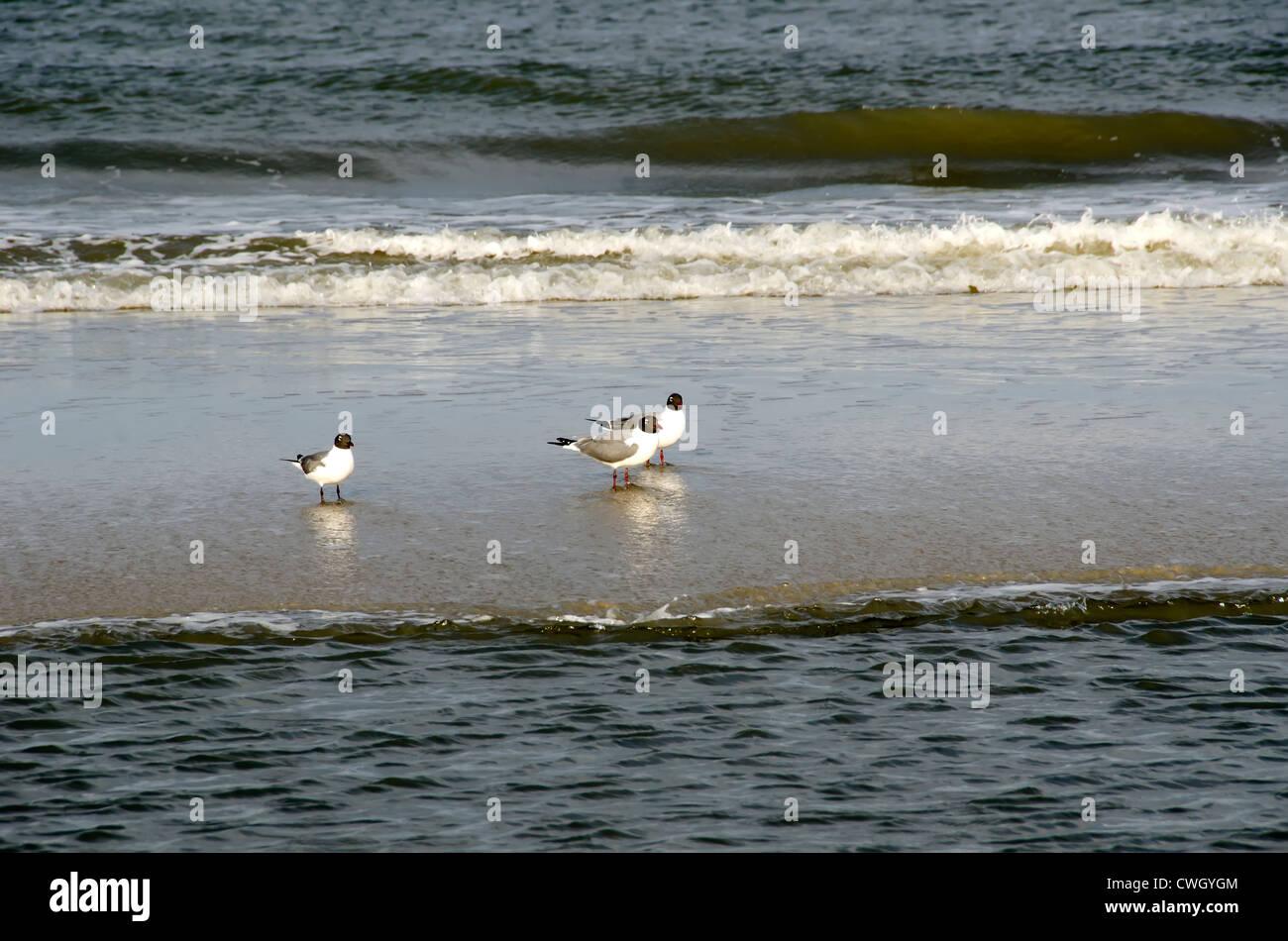 Three American Oyster Catchers (Haematopus palliatus) near the surfline on deserted beach at Corolla, North Carolina - Stock Image
