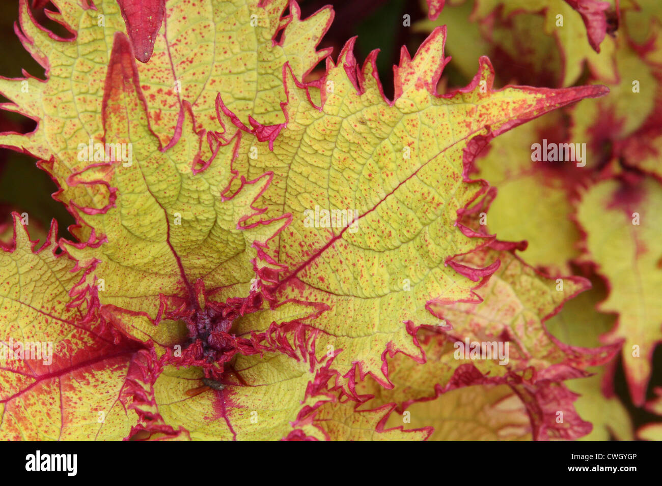 Coleus Henna. Focus in plant core. Near leaves are out of focus. - Stock Image