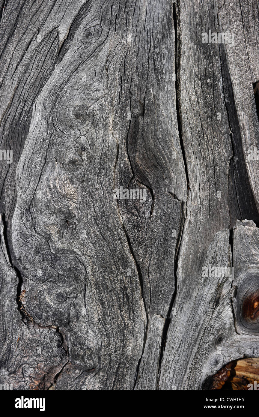 a detail of a conifer's stump - Stock Image