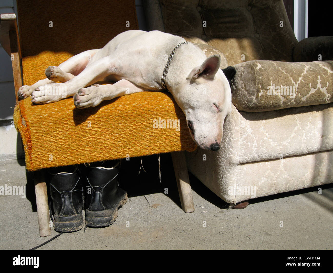 dog,bull terrier - Stock Image
