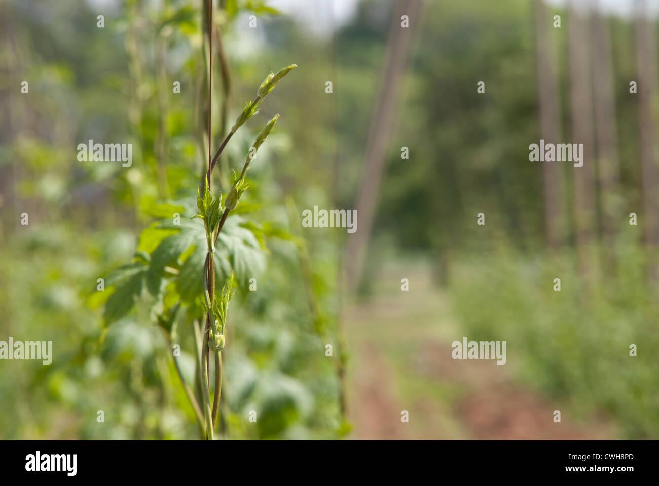hop garden, near Village of Steknik, Czech Republic - Stock Image