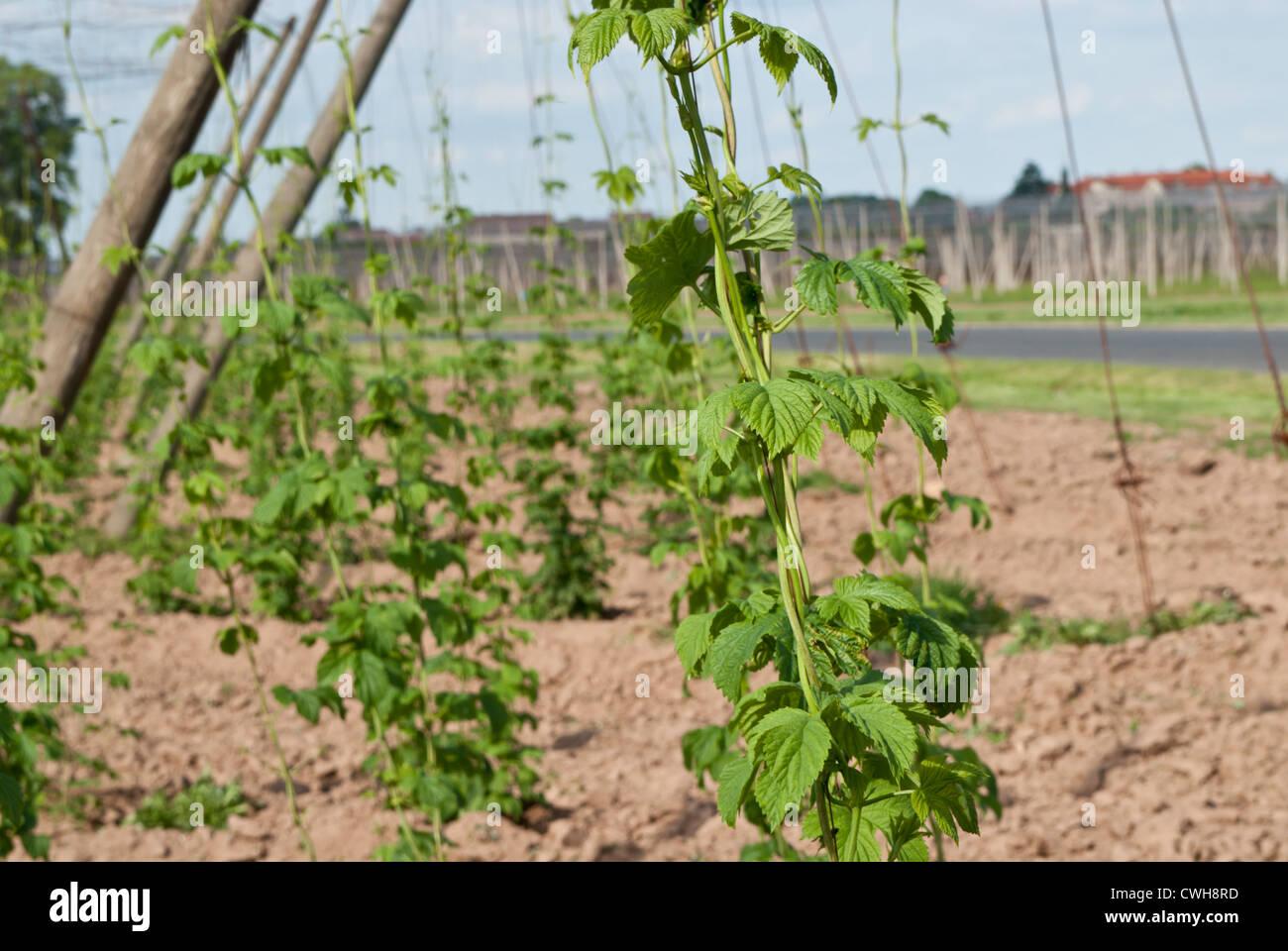 hop-garden, near Village of Steknik, Czech Republic - Stock Image