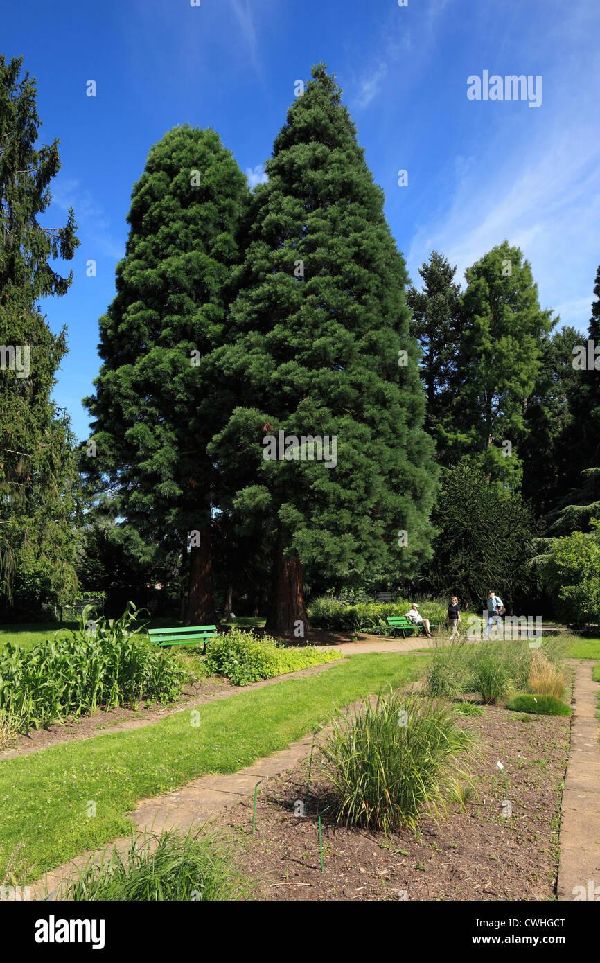 Riesenmammutbaum im Botanischen Garten in Krefeld-Oppum, Niederrhein, Nordrhein-Westfalen - Stock Image