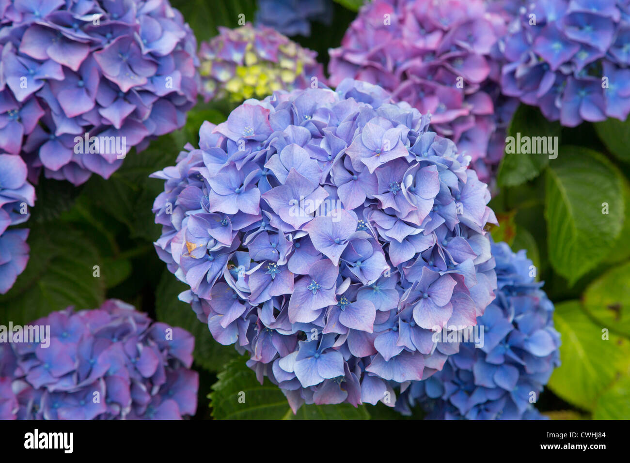 Hydrangea Uk Stock Photos & Hydrangea Uk Stock Images - Alamy