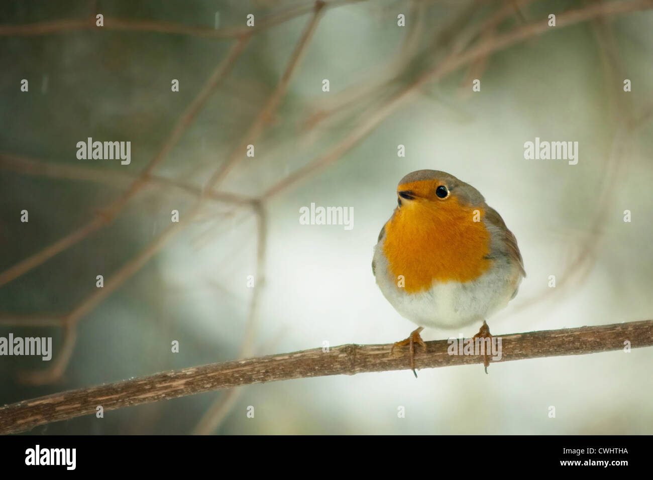 bird,robin - Stock Image
