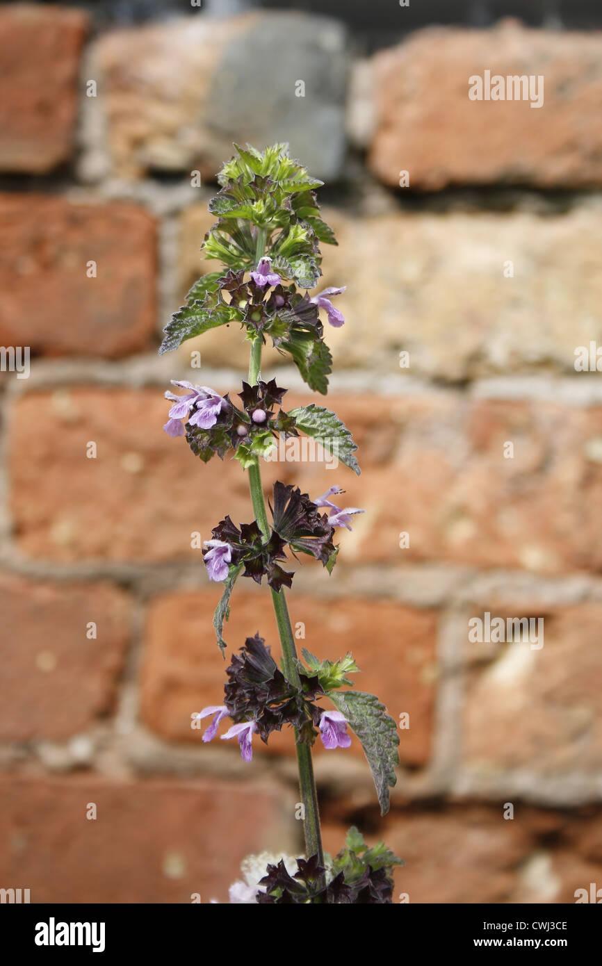 Wild Basil against brick background Clinopodium vulgare Retford, Nottinghamshire, England, UK Stock Photo