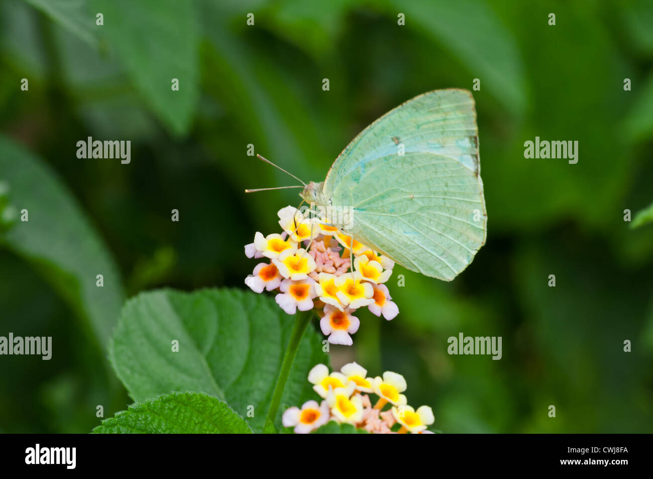 Butterfly, Common Emigrant, Catopsilia piomona, sucking honey from flower, pollinate, close up, copy space - Stock Image