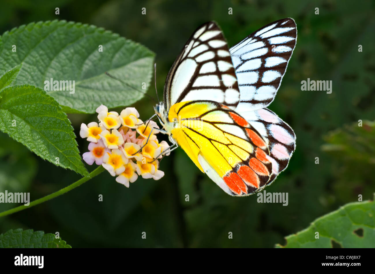 Butterfly, Common Jezebel, Delias eucharis, sucking honey from flower, pollinate, close up, copy space - Stock Image