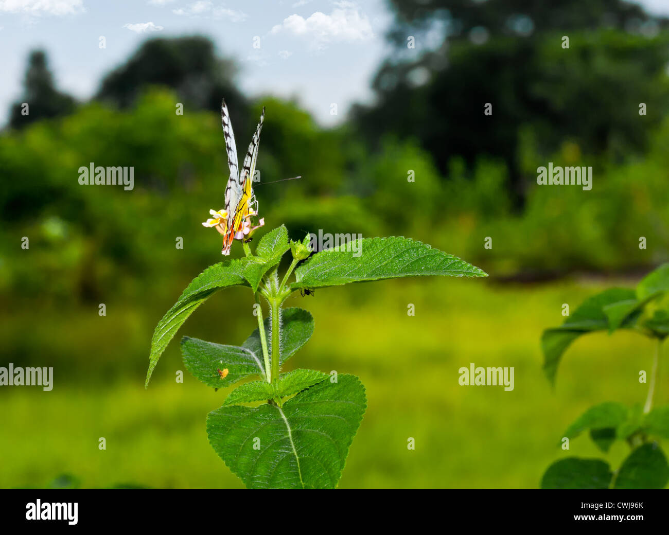 Butterfly, Common Jezebel, Delias eucharis, sucking honey from flower, pollinate, landscape, copy space - Stock Image