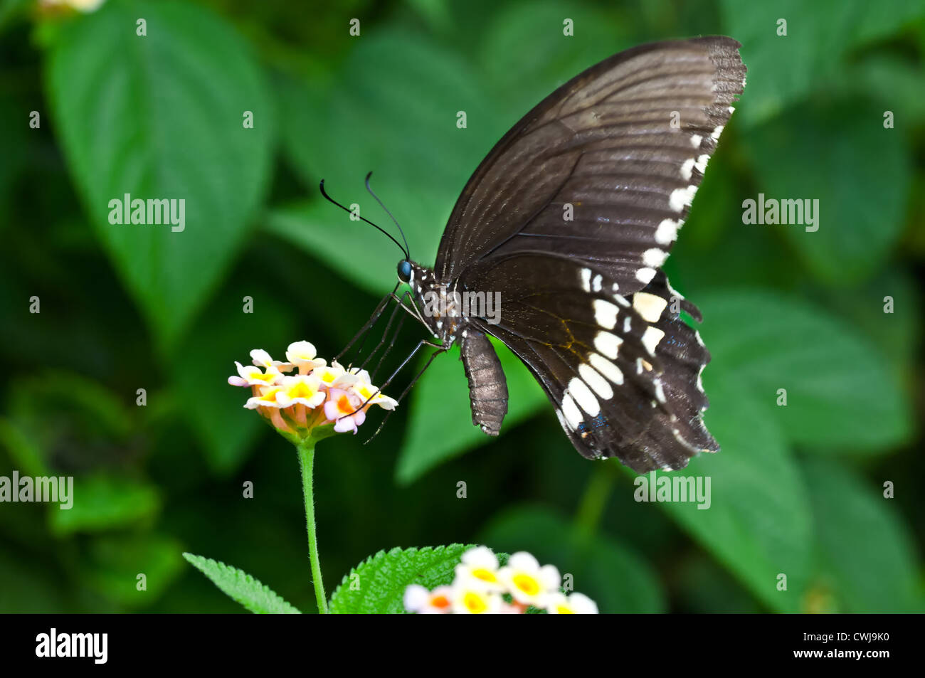 Butterfly, Common Mormon, Papilio polytes, sucking honey from flower, pollinate, close up, copy space - Stock Image