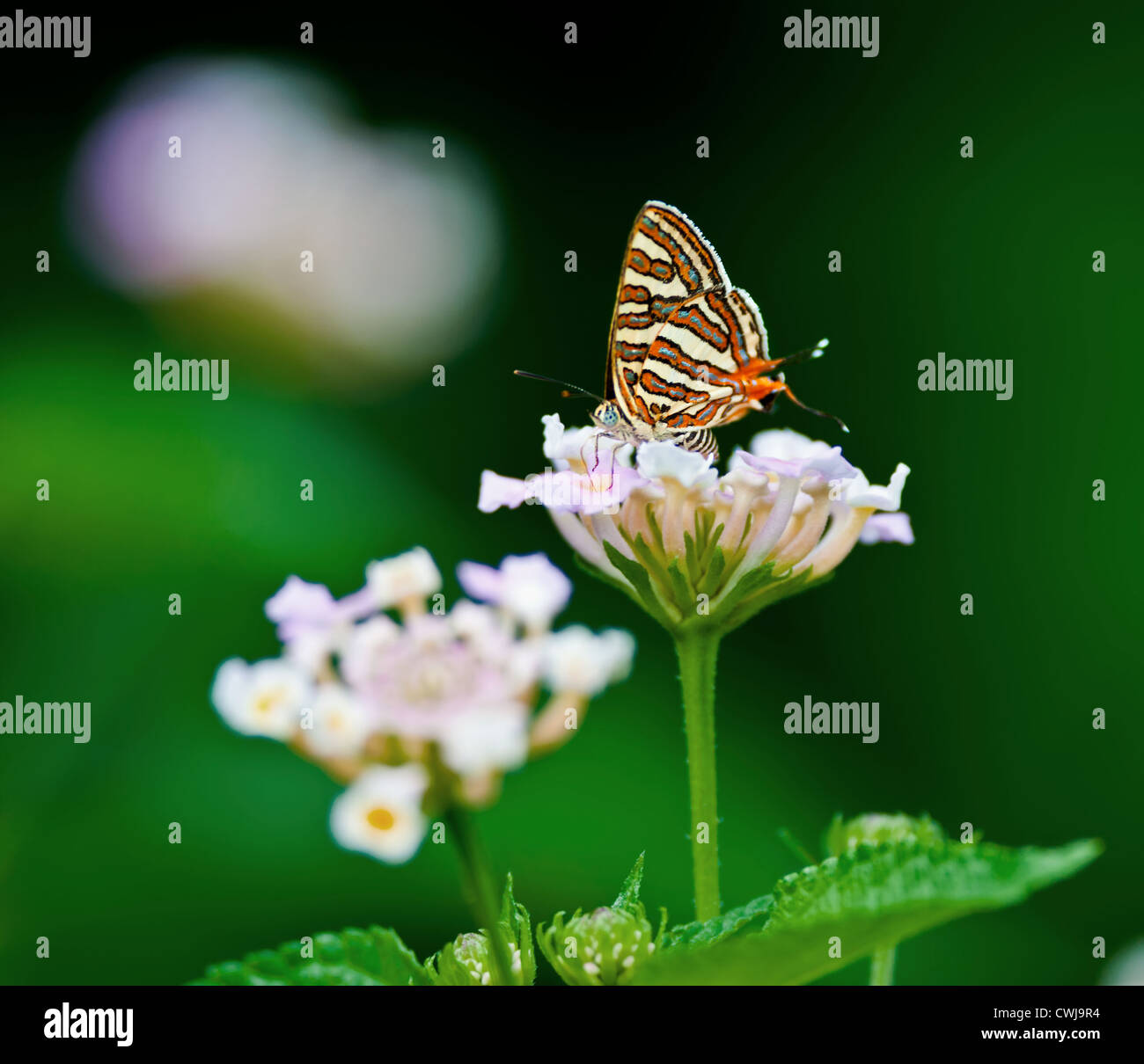 Butterfly, Common Silverline, Spindasis vulcanus, sucking honey from flower, pollinate, close up, copy space - Stock Image