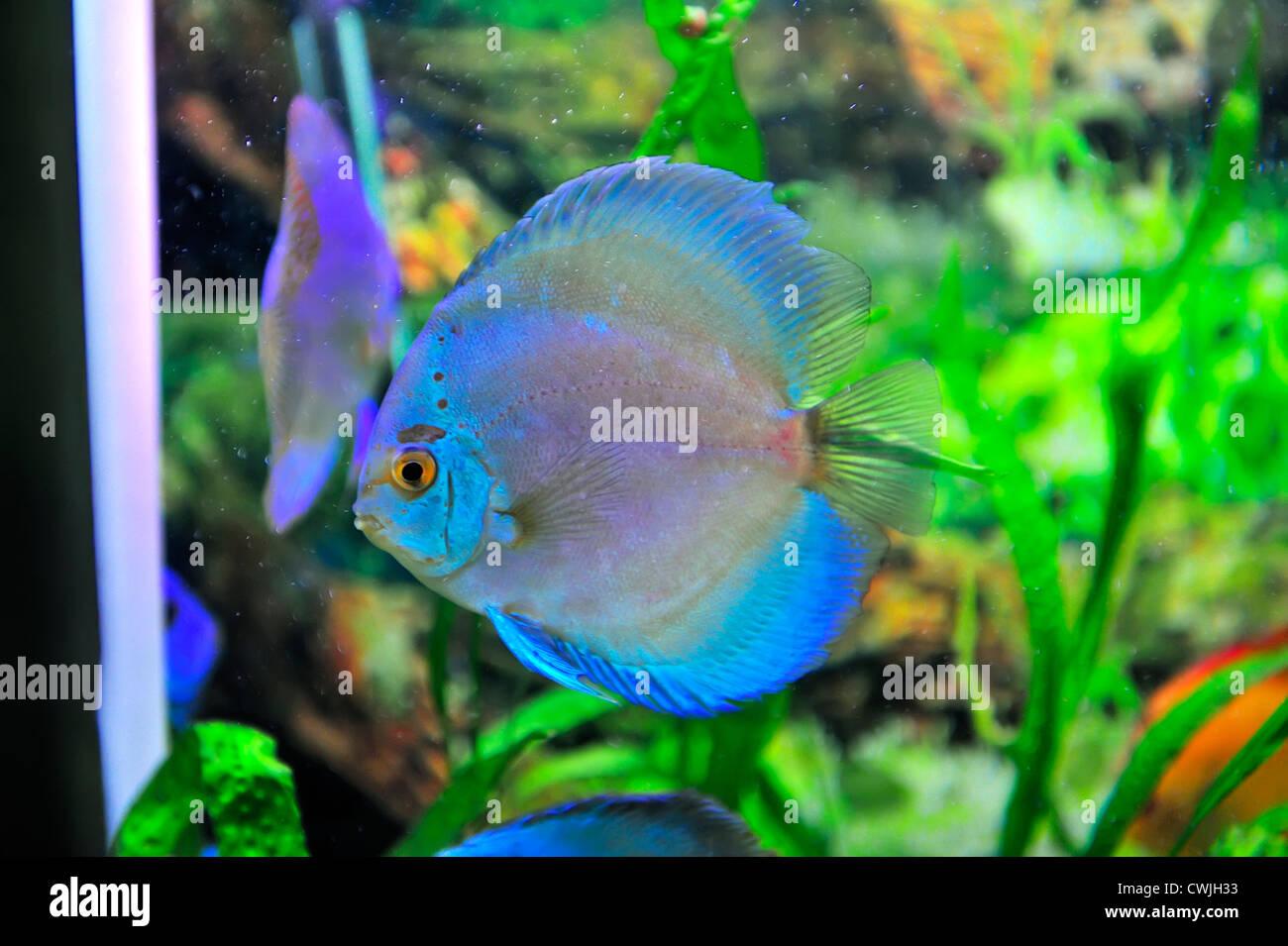 Discus Fish Stock Photos & Discus Fish Stock Images - Alamy