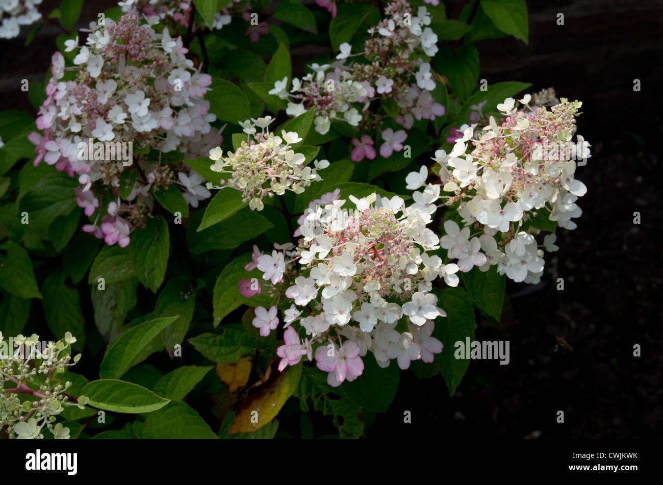 Hydrangea Paniculata 'Pinky Winky' - Stock Image