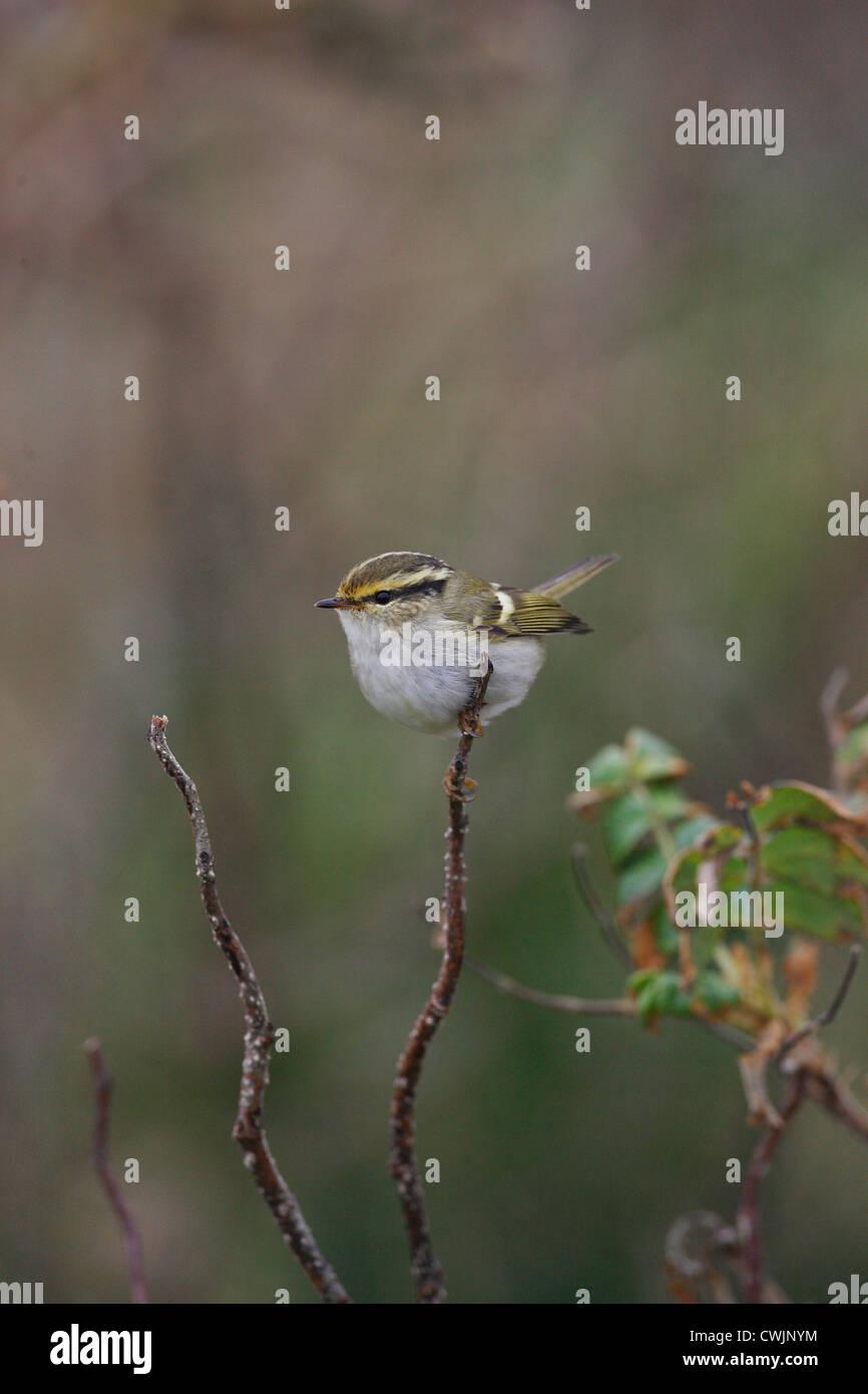 Pallas's Warbler Phylloscopus proregulus Shetland, Scotland, UK Stock Photo