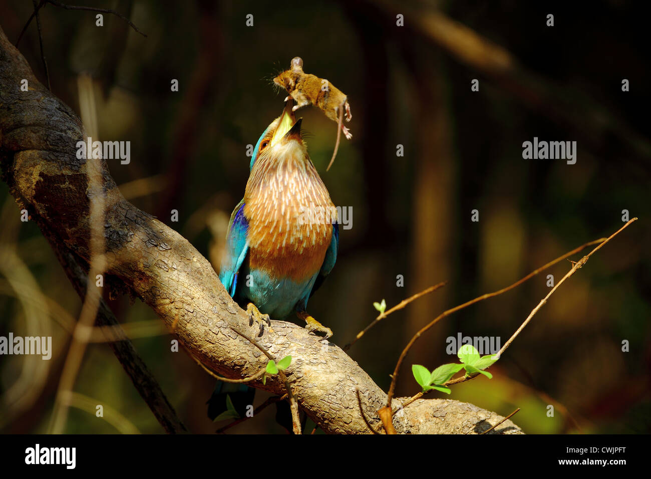 Indian Roller (Coracias benghalensis) with a field mouse in Tadoba Andhari Tiger Reserve, India - Stock Image