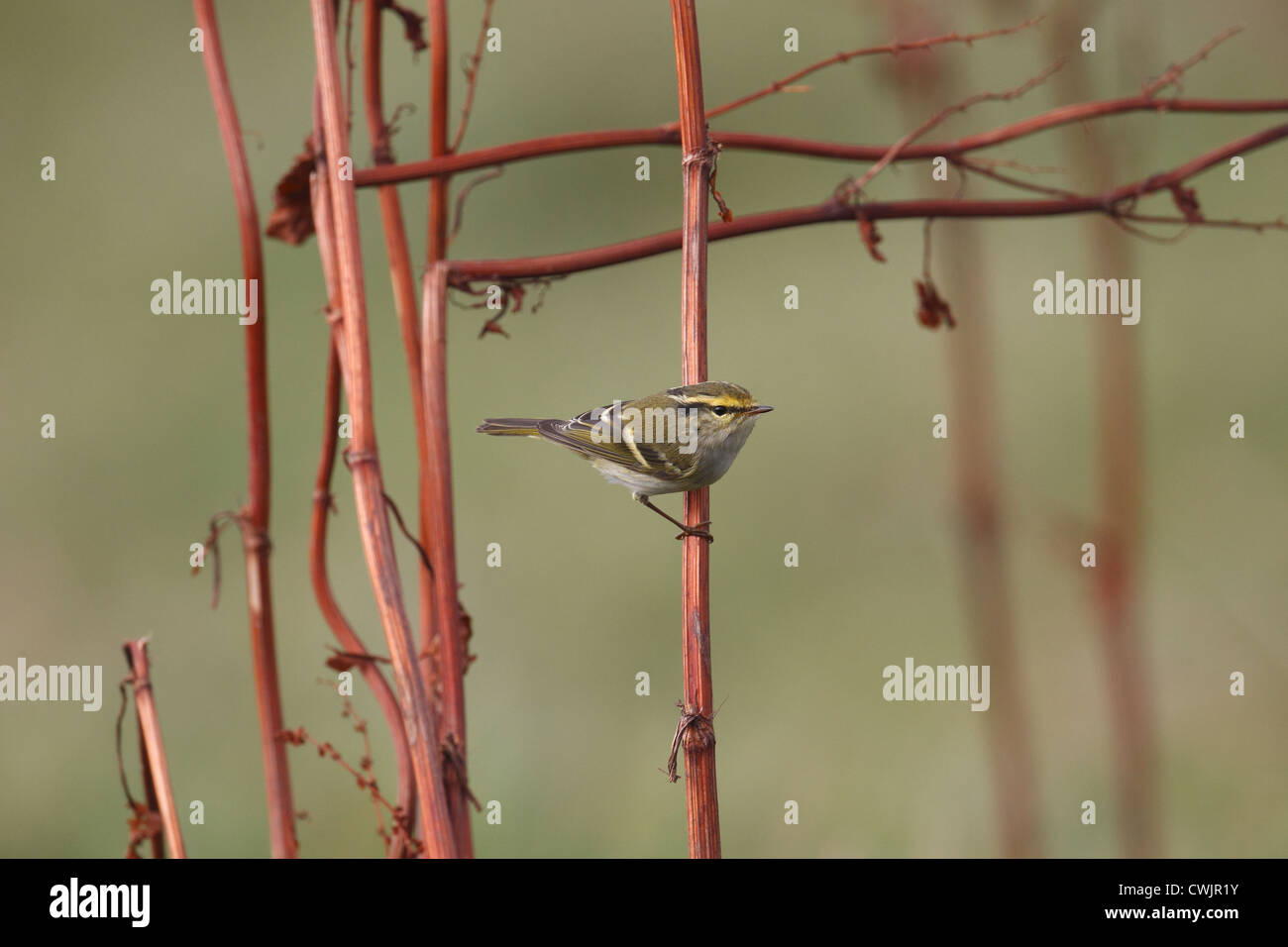 Pallas's Warbler Phylloscopus proregulus Shetland, Scotland, UK Stock Photo