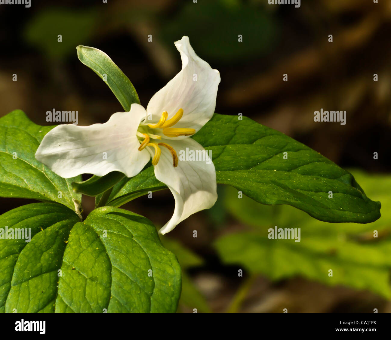 White Trillium Flower Stock Photos White Trillium Flower Stock