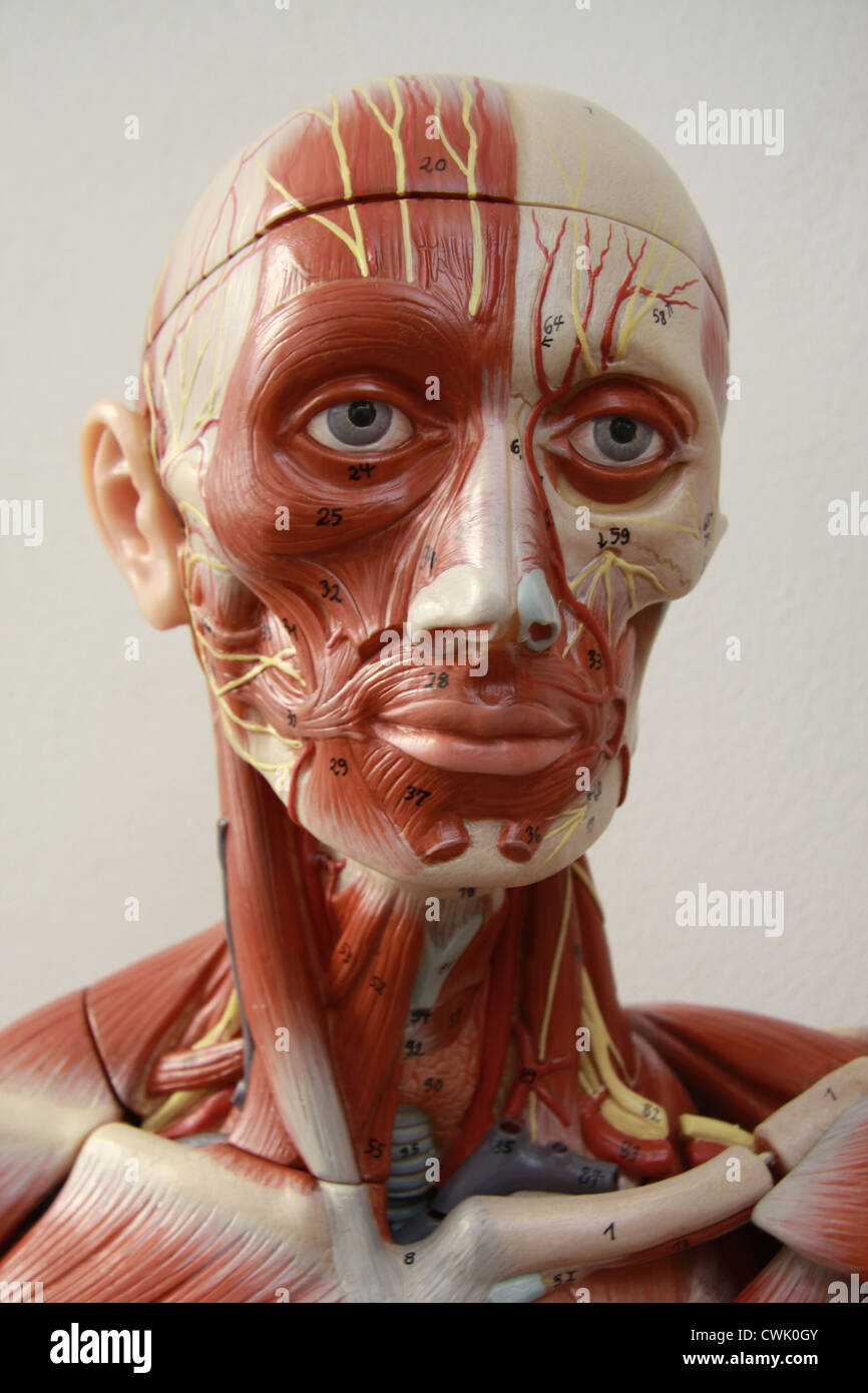 Anatomical Model of Head - Stock Image