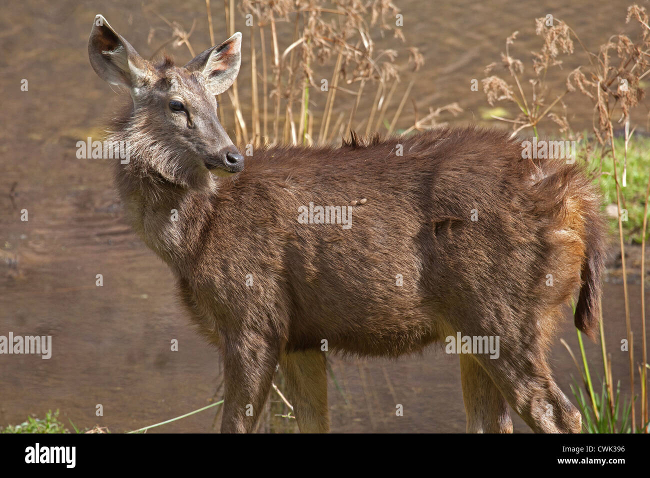 Sambar deer (Cervus unicolor / Rusa unicolor) female at the Ranthambore National Park, Sawai Madhopur, Rajasthan, - Stock Image