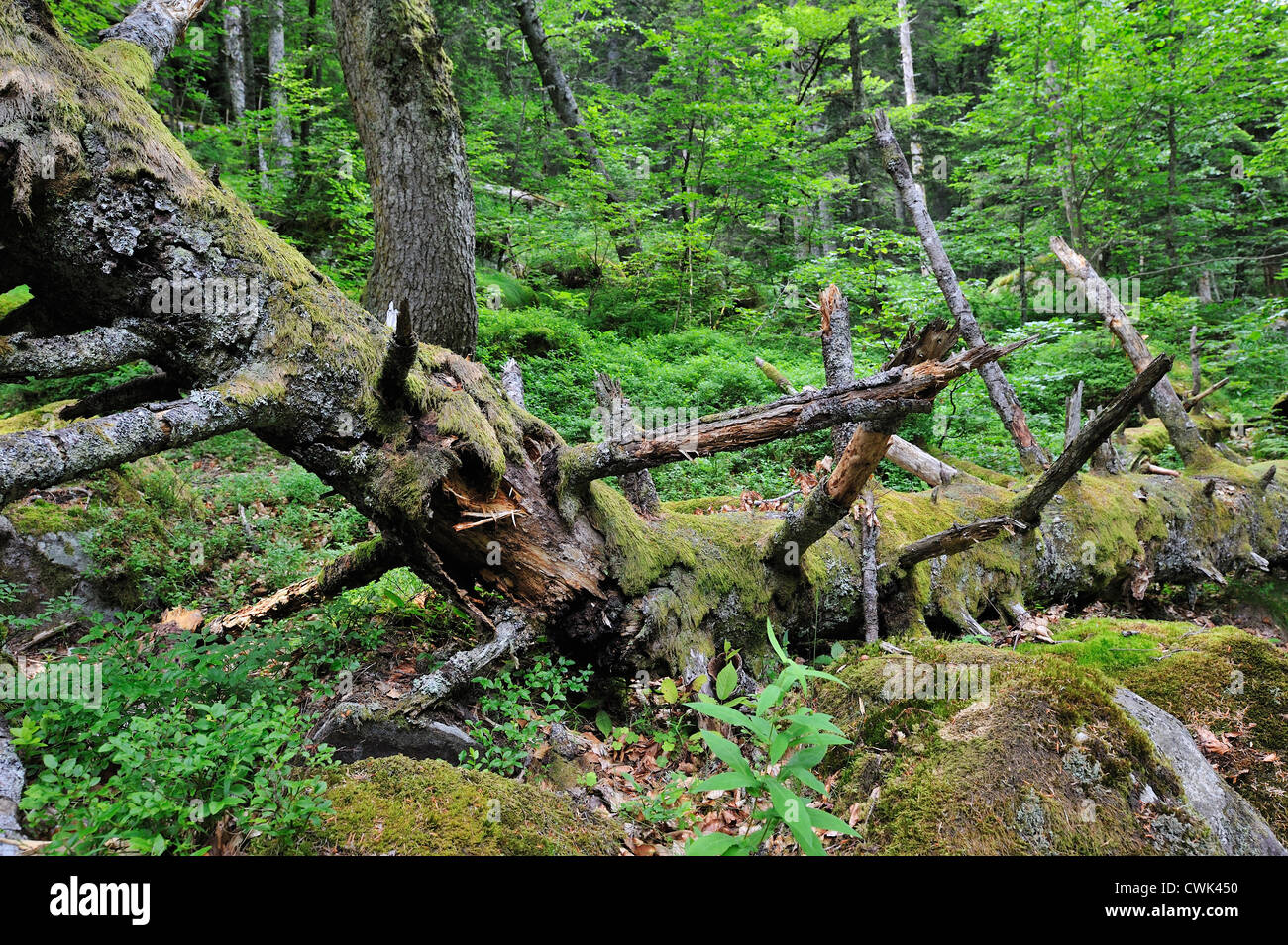 Fallen and broken tree trunk covered in moss, left to rot on forest floor as dead wood habitat for invertebrates, - Stock Image