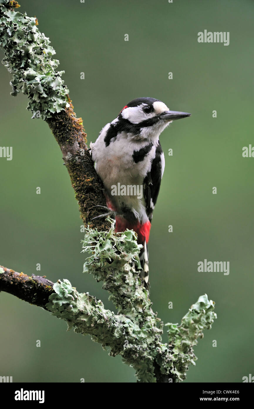 Great Spotted Woodpecker / Greater Spotted Woodpecker (Dendrocopos major) male perched on branch covered in lichen, Stock Photo
