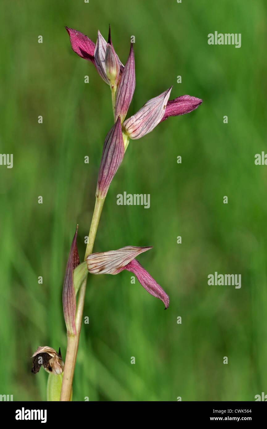 Tongue orchid / Tongue Serapias (Serapias lingua) in flower - Stock Image
