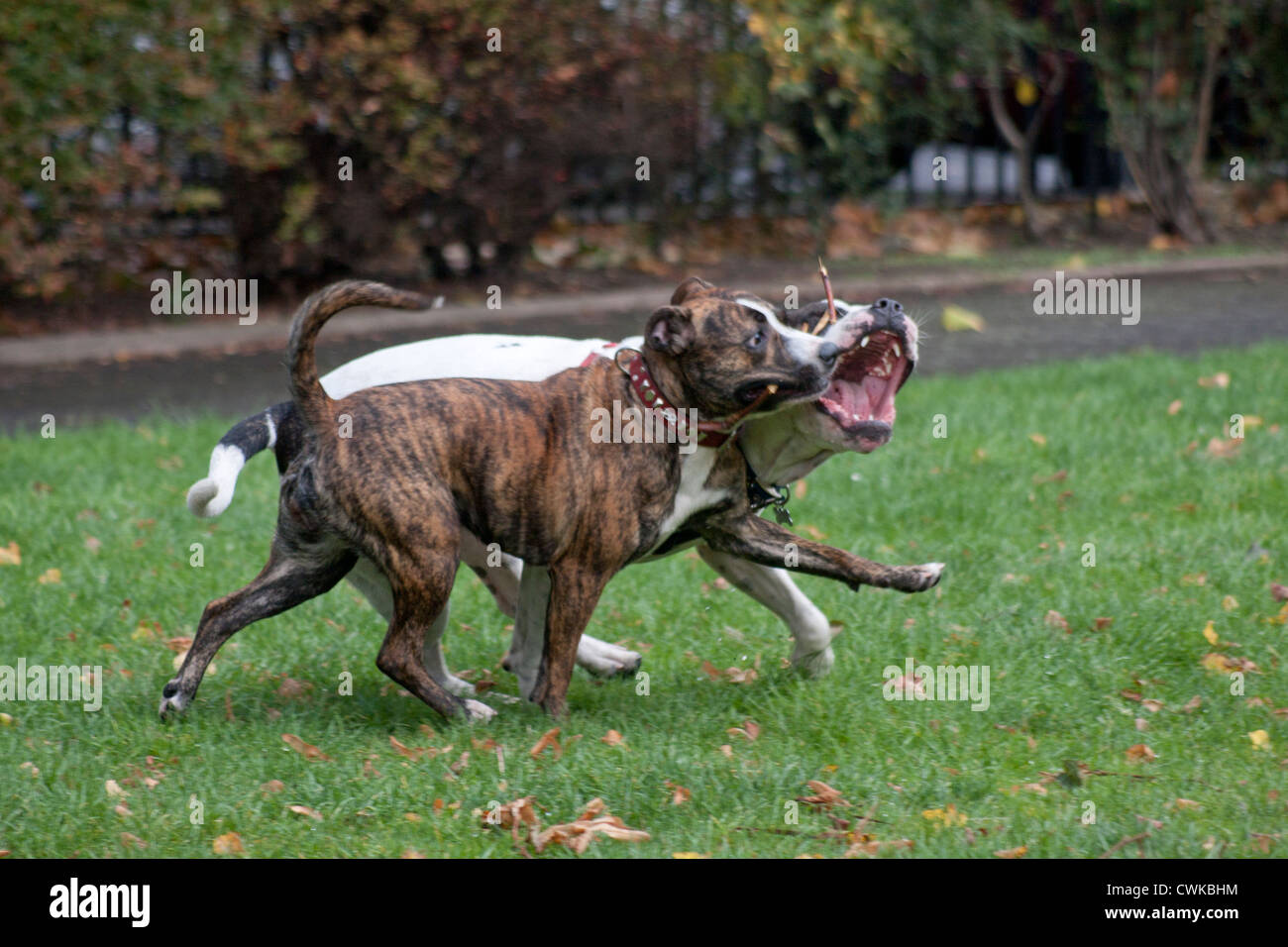 two dogs socialising in park - Stock Image