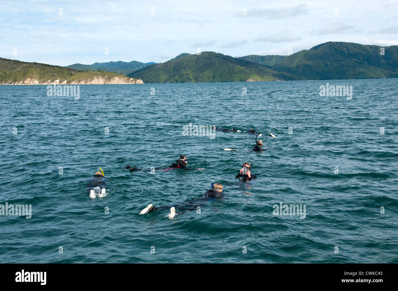 New Zealand, South Island: Swimming with dolphins and Dolphin Watch  Ecotour snorkeling in Marlborough Sounds near - Stock Image