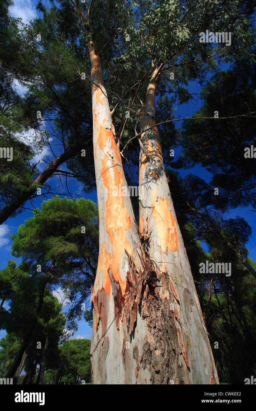 Eucalyptus tree showing bare bark and foliage - Basilicata, Italy. - Stock Image