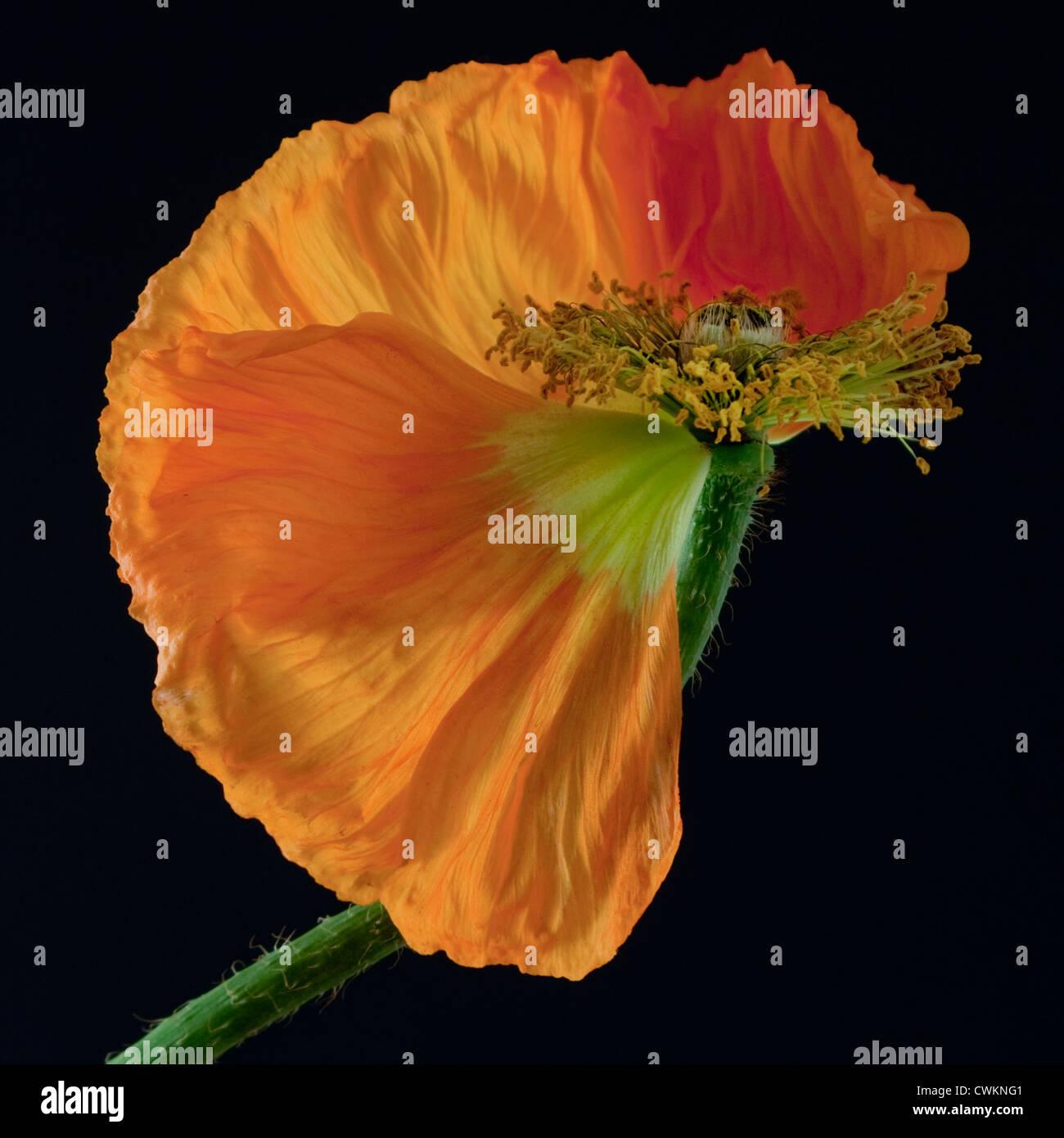 beautiful poppy - Stock Image