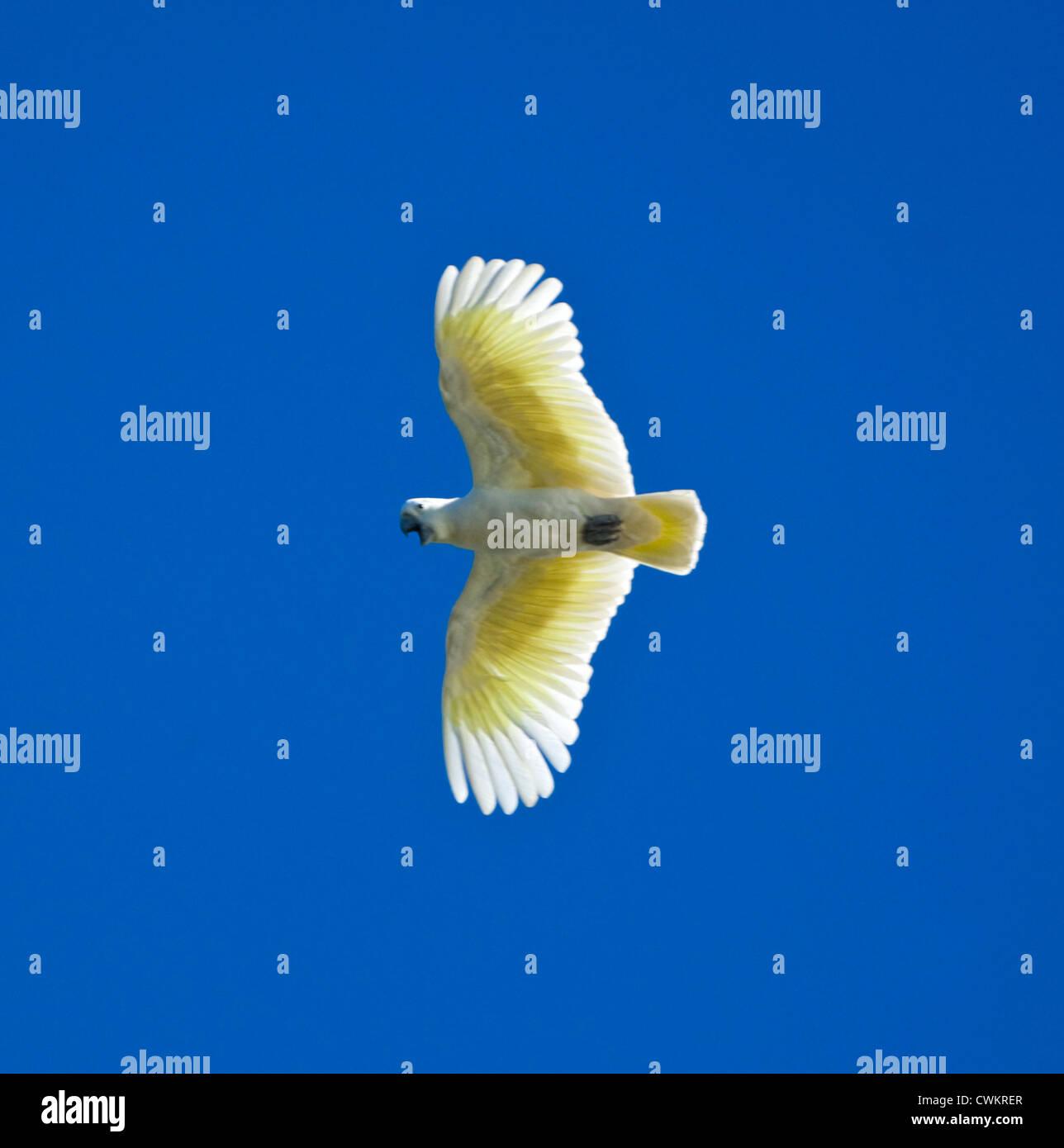 Sulphur-crested Cockatoo (Cacatua galerita) - Stock Image