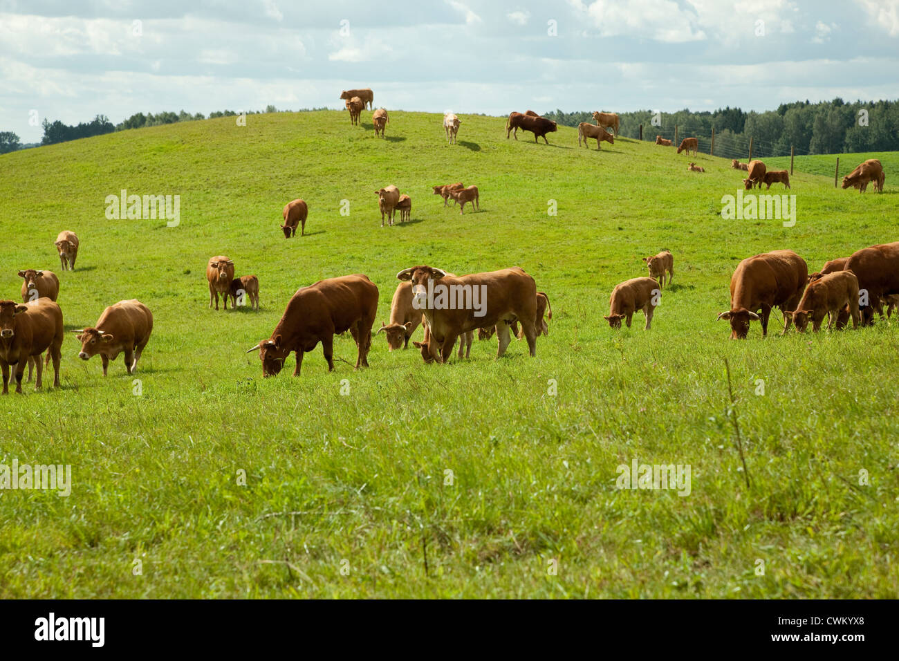 herd of racial cattle (Limousine) on green pasture - Stock Image